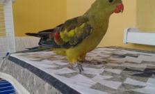 Blog: V Bardejove sa hľadá papagáj
